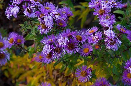 asteraceae: Aster amellus Asteraceae bus in field of flowers close up detail.