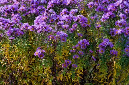 asteraceae: Aster amellus Asteraceae bus in field of flowers.