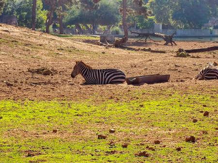 Two zebras leying down Standard-Bild