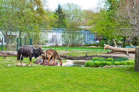 ibex ram: Aminal in Zoo of Berlin on the green meadow Stock Photo