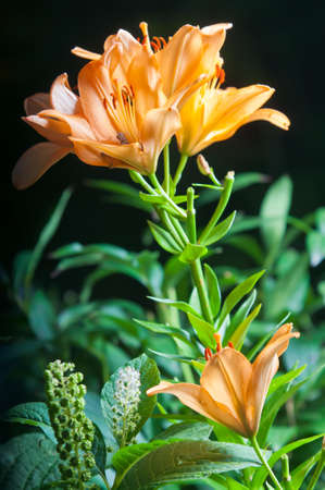 Three orange lilies on the dark background photo