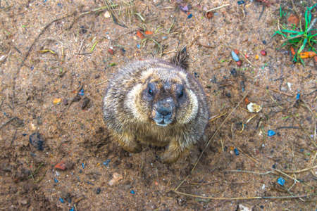 portrait of a marmot on the ground Stock Photo - 22932434