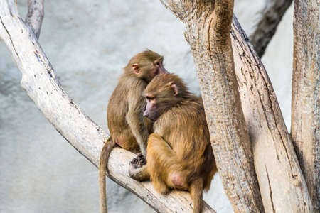 Two macaques are sitting on tree branch photo
