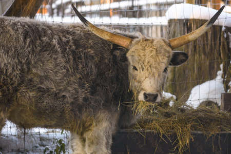 stock breeding: Hungarian grey cow is feeding under shed