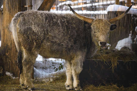 cattle breeding: Hungarian grey cow is feeding under shed