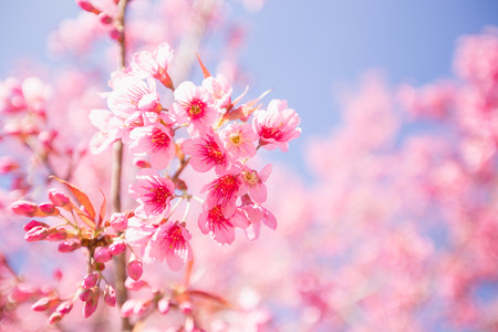 pink cherry: Pink Sakura flower blooming.