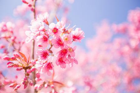 arbol de cerezo: Rosa Sakura flor en flor.