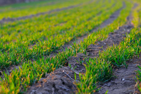 a faction: Spring afternoon, the sun shining on the  wheat seedling  Faction vibrant look  Stock Photo