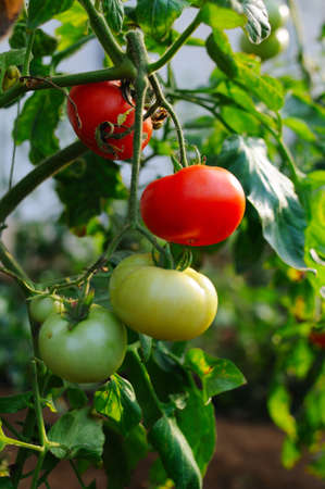 Tomatoes in greenhouses approaching harvest time  photo