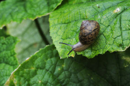 A snail crawl on the leaves  Stock Photo - 15781818
