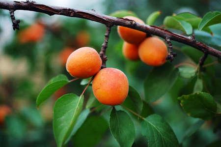 The long ripe apricot photo