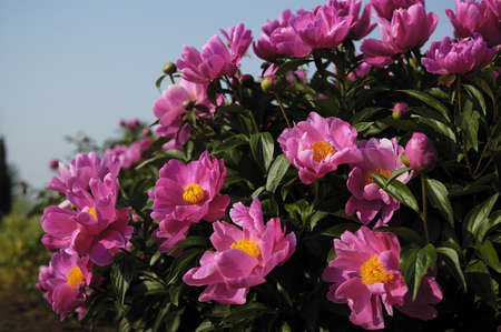 Peony Garden is very much in the peony varieties. Really is a ratio of a good-looking, each have their own beauty and style. People really do not want to leave. Stock Photo - 15910362