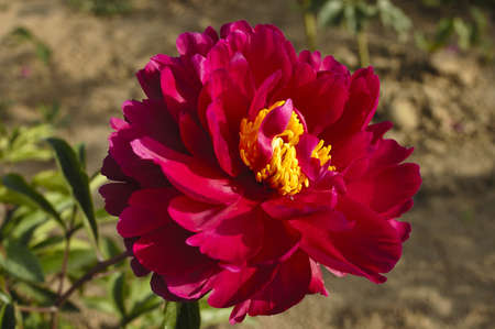 Peony Garden is very much in the peony varieties. Really is a ratio of a good-looking, each have their own beauty and style. People really do not want to leave. Stock Photo - 15984034