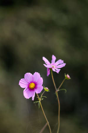 plateau of flowers: Cosmos also known as Gesang Meiduo.Tibetan Kelsang is the meaning of happiness, Meiduo is the meaning of flowers, a growth plateau ordinary flowers. Stock Photo