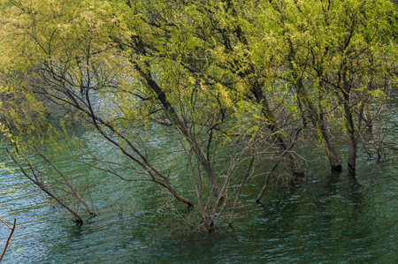 In the shallow waters of the lake edge, the growth of a willow forests. photo