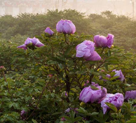 enveloped: Morning fog enveloped the Peony Garden