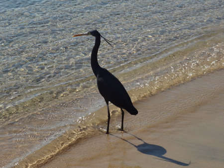 naama bay: Small blue heron in Naama Bay