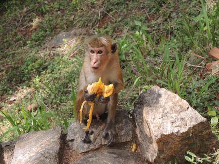 bipedal: Monkey eating a banana