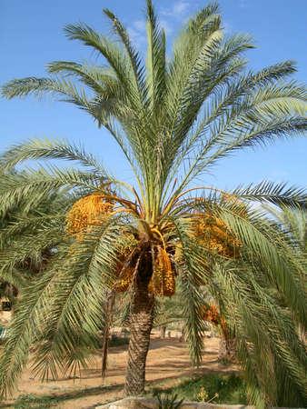 """Résultat de recherche d'images pour """"palmier dattier"""""""