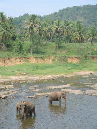orphanage: Elephant orphanage in Pinnawala. Sri-Lanka Stock Photo
