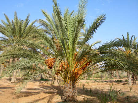 date palm tree: The date palm tree with fruit