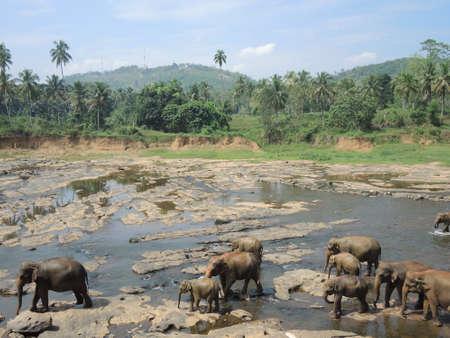 orphanage: Elephant orphanage in Pinnawela,Sri Lanka