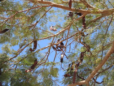 carob: Evergreen breadfruit John or carob Stock Photo
