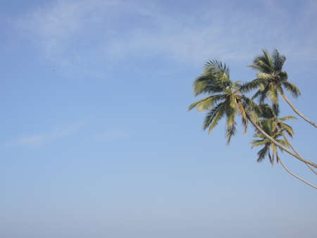 Palm tree top in the blue sky