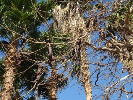 carob: Evergreen  carob