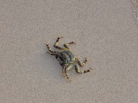 naama bay: Crab runs in the Red sea