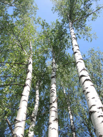 bosk: Russian birch on a Sunny day
