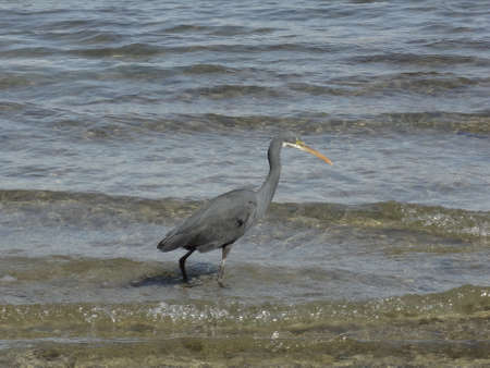 naama bay: Small blue heron