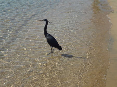 naama bay: The heron catches fish