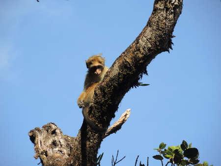 bipedal: A monkey sits on a tree branch Stock Photo