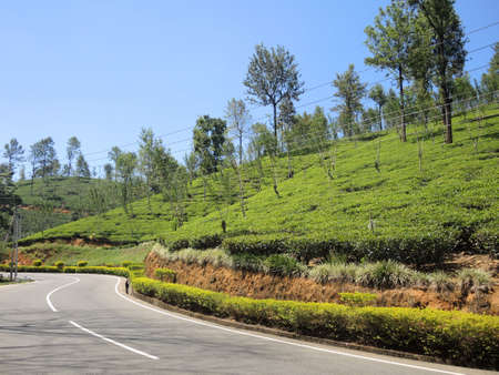 bush to grow up: Tea plantations in Nuwara Eliya, Sri Lanka