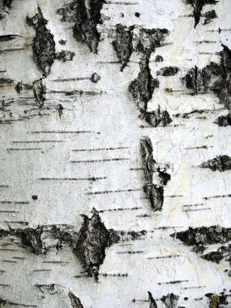Birch bark close up