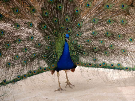 peahen: The peacock draws attention with the opened tail Stock Photo