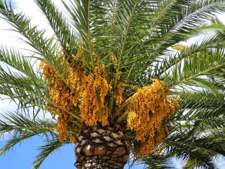 hotbed: Dates ripen on the tree
