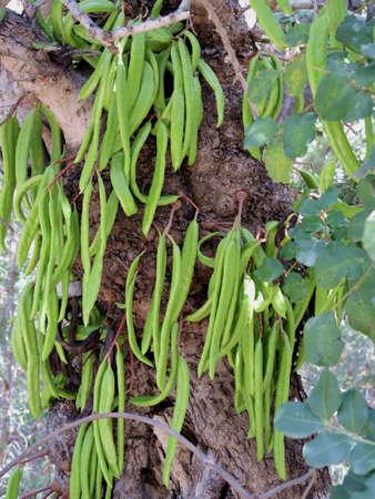 Unripe fruit of the carob