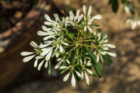 depictions: Many small white flowers flowers bloom are beautiful depictions