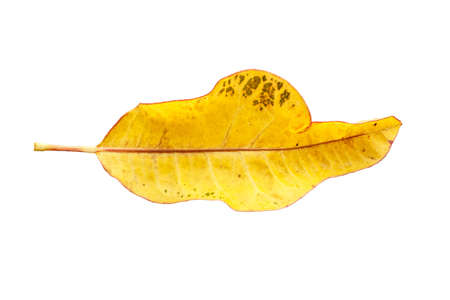 Yellow leaf to create haggard