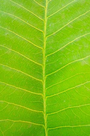 Beautiful pattern in green leaf