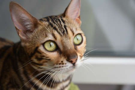 Bengal cat. Portrait of a beautiful green-eyed cat, close-up. Banque d'images