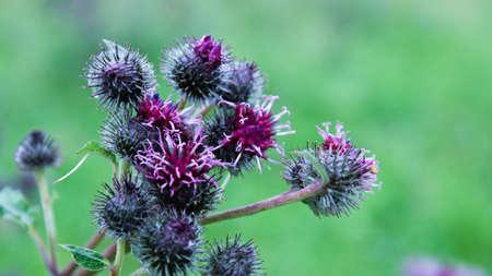 Burdock, burdock flowers on a well blurred background, Burdock blooms