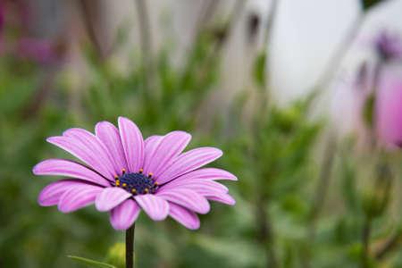 Osteospermum, a delicate pink flower on a blurred background. postcard