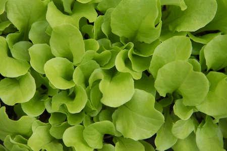 Świeże, soczyste liście sałaty. Delikatne i zielone części sałaty. Rolnictwo ekologiczne bez chemicznych pestycydów. Składnik jedzenia. Zdrowa dieta i wspaniałe życie. Zdjęcie Seryjne