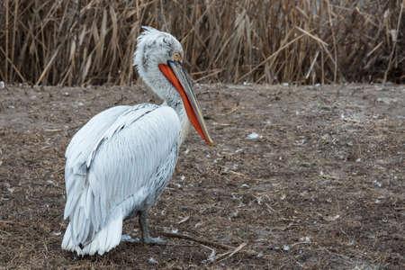 Pelican bird on land, resting. Pelican white. Its beak is a rich orange color.