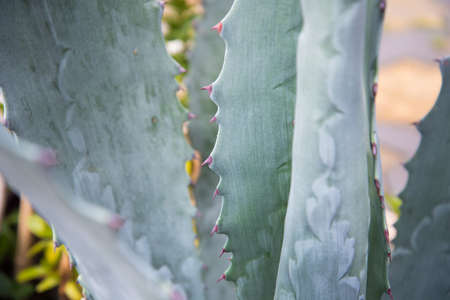 American agave, common names Guard plant, centenary, Maguey, or American aloe grows on the black sea coast.