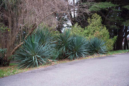 Several Yucca plants are planted along the footpath. Landscape design. Decoration of the Yucca radiant plant.