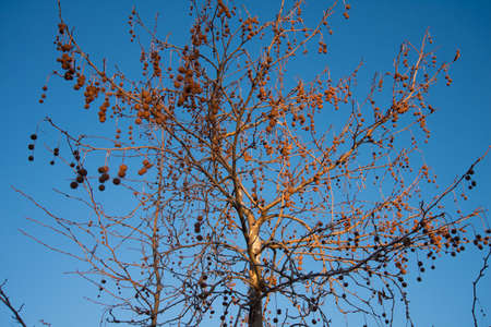 Leafless Sycamore tree with fruit. Sunny autumn day. Blue sky and bright sun.